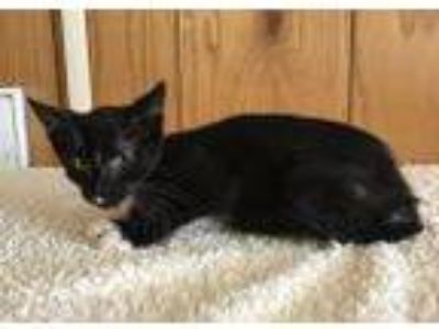 Adopt Jordie a Domestic Short Hair