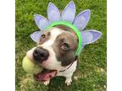 Adopt Peachy Keen a American Pit Bull Terrier / Mixed dog in Richmond