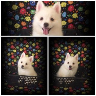 American Eskimo Dog PUPPY FOR SALE ADN-94659 - Sonic Male Miniature American Eskimo