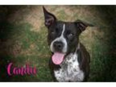 Adopt Candie a Black - with White Pit Bull Terrier / Australian Cattle Dog /