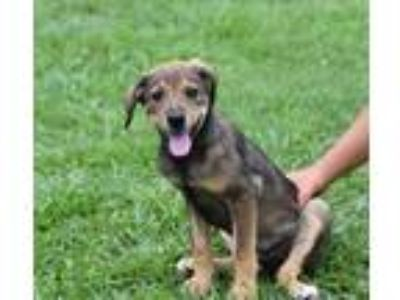 Adopt REGAN a Brown/Chocolate - with Tan Labrador Retriever / Mixed dog in