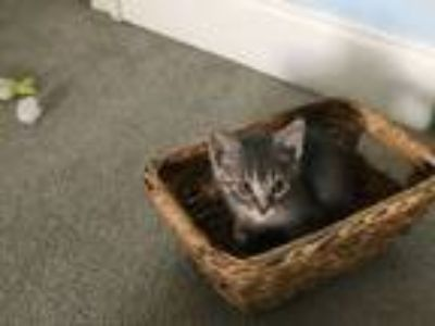 Adopt Patrick a Gray, Blue or Silver Tabby Domestic Shorthair (short coat) cat