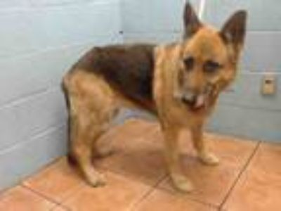 Adopt CHEYENNE a German Shepherd Dog