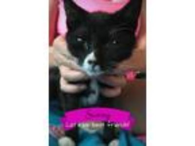 Adopt Sunny a Black (Mostly) Domestic Shorthair (short coat) cat in