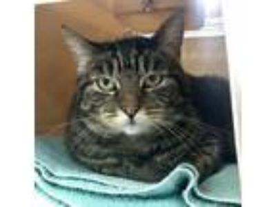 Adopt Middles a Domestic Short Hair