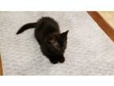 Adopt JONES a All Black Domestic Shorthair / Mixed (short coat) cat in West Palm