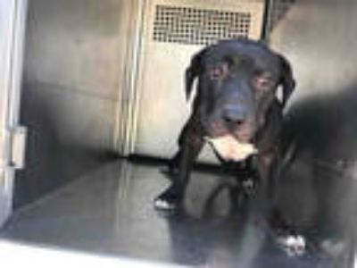 Adopt *MARSHMELLO a Black - with White American Pit Bull Terrier / Mixed dog in