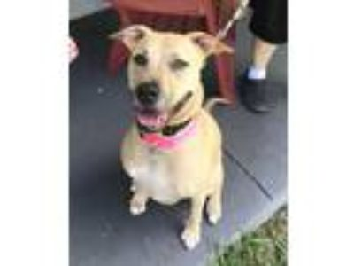 Adopt Willow a Tan/Yellow/Fawn Labrador Retriever / Pit Bull Terrier / Mixed dog
