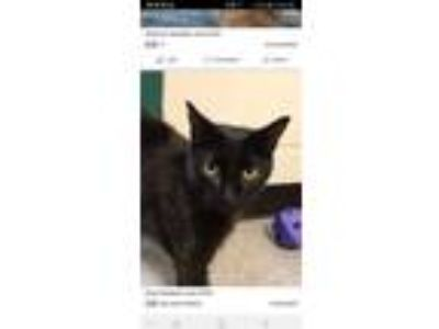 Adopt Dee a Domestic Short Hair