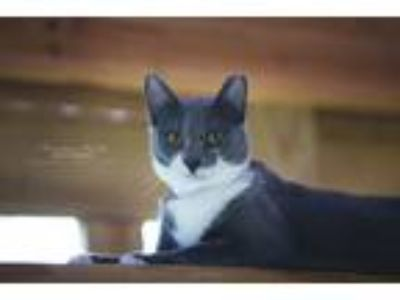 Adopt Penelope a Domestic Shorthair / Mixed (short coat) cat in Hoover