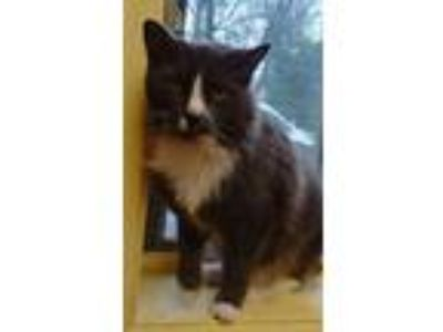 Adopt Holly a Domestic Medium Hair