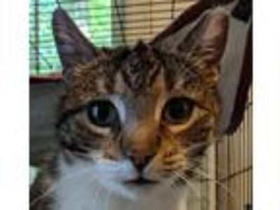 Adopt Lolite a Brown Tabby Domestic Shorthair (short coat) cat in East