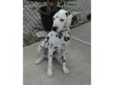 Adopt Ricky-seeking Donors only a White - with Black Dalmatian / Mixed dog in