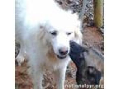 Adopt Angel in GA - People Pup a Great Pyrenees