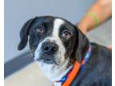 Adopt Otis - available 7/21 a Black - with White Great Dane / Border Collie /