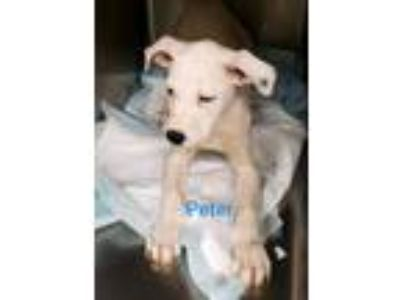 Adopt Peter a White Labrador Retriever / Pit Bull Terrier / Mixed dog in Monroe
