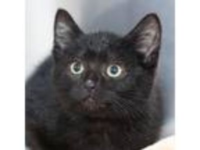 Adopt Allen a All Black Domestic Shorthair / Domestic Shorthair / Mixed cat in