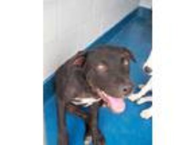 Adopt TONI a Black - with White Labrador Retriever / Mixed dog in Pearland