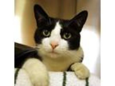 Adopt Buster a All Black Domestic Shorthair / Domestic Shorthair / Mixed cat in
