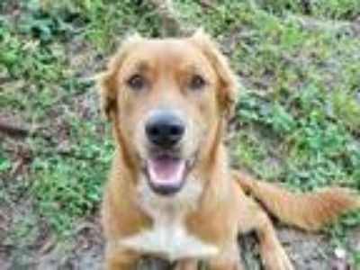 Adopt Simba a Tan/Yellow/Fawn Golden Retriever / Mixed dog in Clearwater