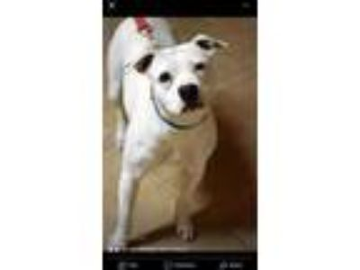 Adopt China a American Staffordshire Terrier