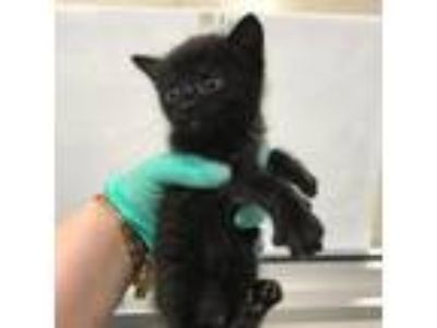 Adopt Banana Split a All Black Domestic Shorthair cat in Jacksonville