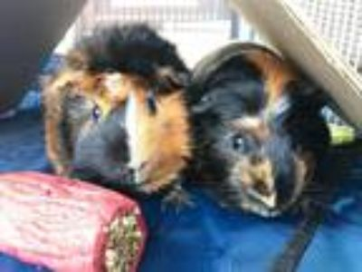 Adopt Kennan and Kel a Calico Guinea Pig (short coat) small animal in Whitehall