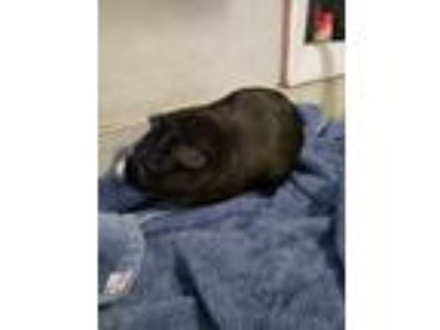Adopt Pepsi a Black Guinea Pig (short coat) small animal in Hamden