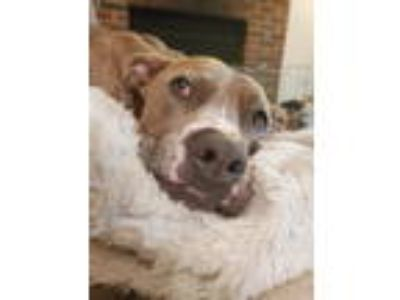 Adopt Maggie a American Staffordshire Terrier, Pit Bull Terrier