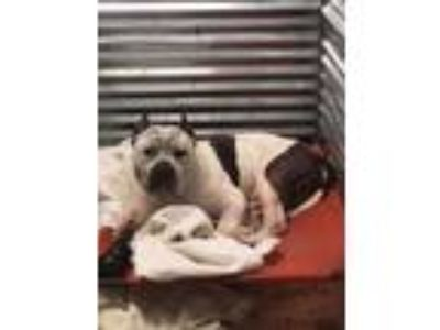 Adopt Knight a White - with Gray or Silver American Pit Bull Terrier / Mastiff /