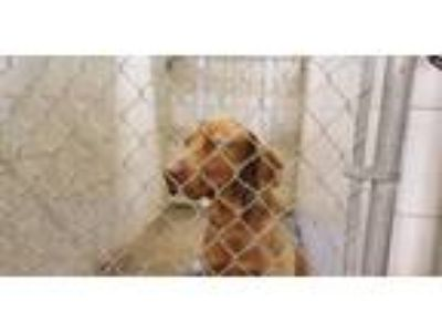 Adopt Gunner a Chesapeake Bay Retriever