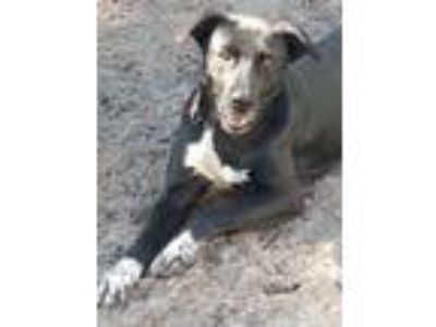 Adopt Peggy a Retriever, Border Collie