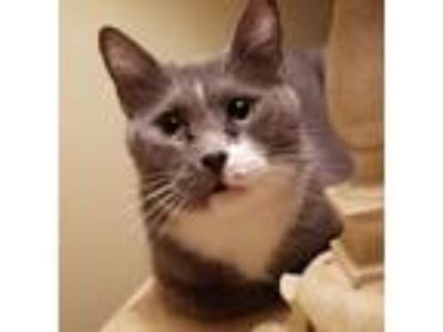 Adopt Chloe a Domestic Short Hair