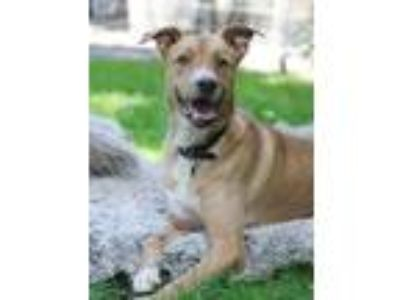 Adopt Roxanne - WATCH MY VIDEO! a Tan/Yellow/Fawn - with White Boxer / Labrador