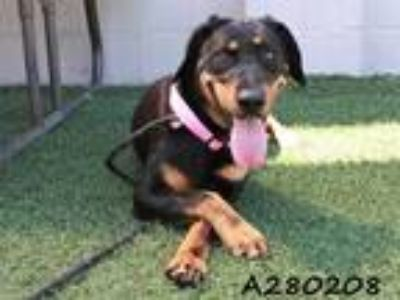 Adopt LAIRA a Black - with Tan, Yellow or Fawn Rottweiler / Mixed dog in