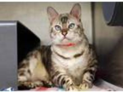 Adopt Pearly a Gray or Blue Bengal / Mixed cat in Chicago, IL (25666835)