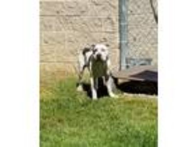 Adopt Craig a White - with Gray or Silver Pit Bull Terrier / Mixed dog in