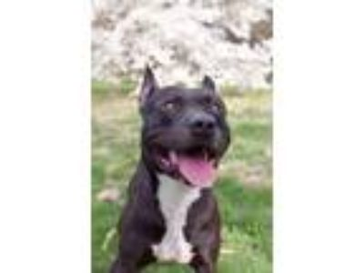 Adopt Norton a German Shepherd Dog / Pit Bull Terrier / Mixed dog in St.