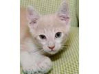 Adopt Nilla a Tan or Fawn Domestic Shorthair / Domestic Shorthair / Mixed cat in