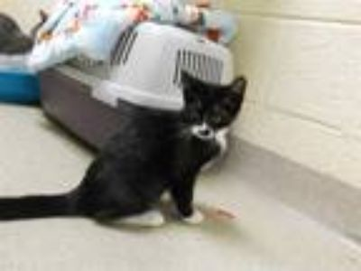Adopt PAPRIKA a Black & White or Tuxedo Domestic Shorthair / Mixed (short coat)