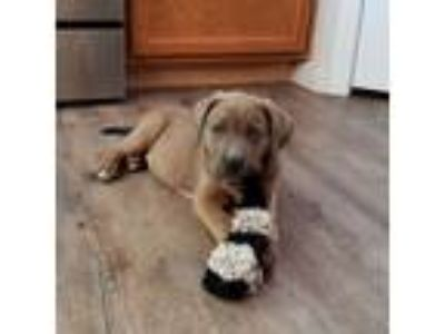 Adopt Parker a Australian Cattle Dog / Blue Heeler, Mastiff