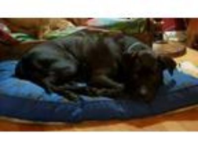 Adopt Lou Ouiji a Pit Bull Terrier
