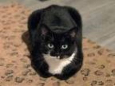 Adopt TinyGal a Domestic Short Hair, Tuxedo
