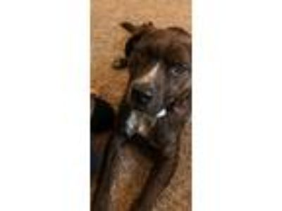 Adopt Stevie a Australian Cattle Dog / Blue Heeler, Pit Bull Terrier