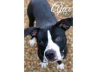Adopt Ajax a Black American Pit Bull Terrier / Mixed dog in Belle Chasse