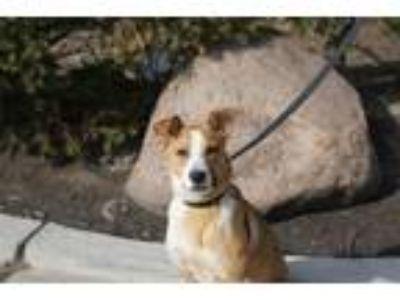 Adopt Colby a Labrador Retriever, Mixed Breed