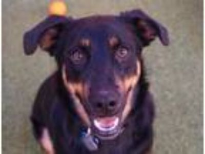 Adopt Cain a Black Shepherd (Unknown Type) / Rottweiler / Mixed dog in