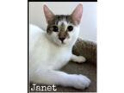 Adopt Janet a All Black Domestic Shorthair (short coat) cat in Manchester