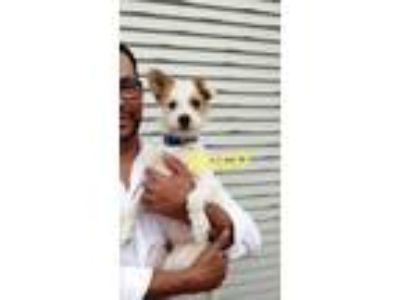 Adopt Rocco a Red/Golden/Orange/Chestnut - with White Jack Russell Terrier /