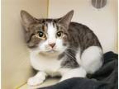 Adopt Busy a Domestic Shorthair / Mixed cat in Pittsburgh, PA (25277634)